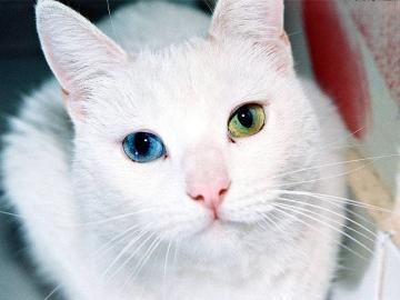 angel pets blog cat blue green eye